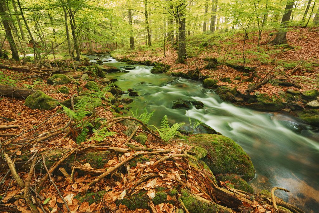 Detail of Forest brook through beech forest with deadwood by Corbis