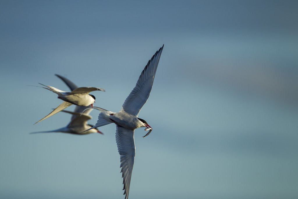 Detail of Arctic Terns, Hudson Bay, Canada by Corbis