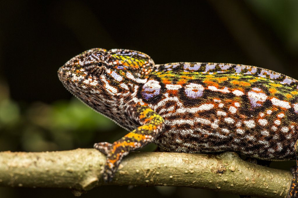 Detail of Chameleon, Andasibe-Mantadia National Park, Madagascar by Corbis