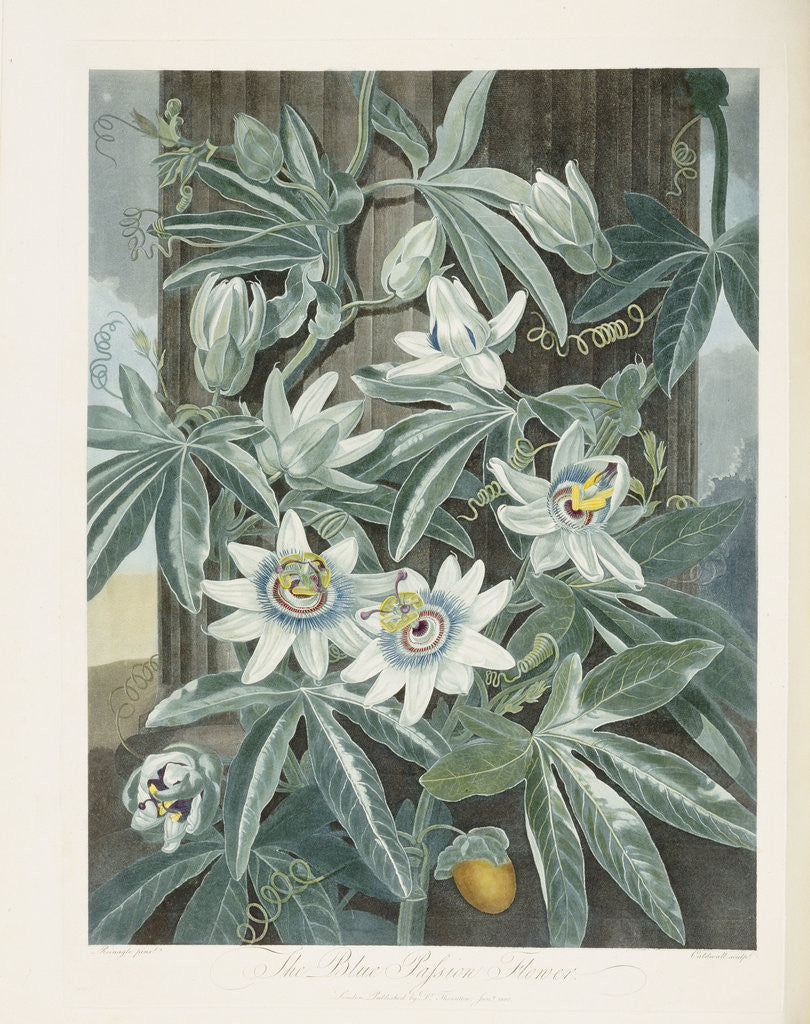 The Blue Passion Flower Posters Prints By Corbis