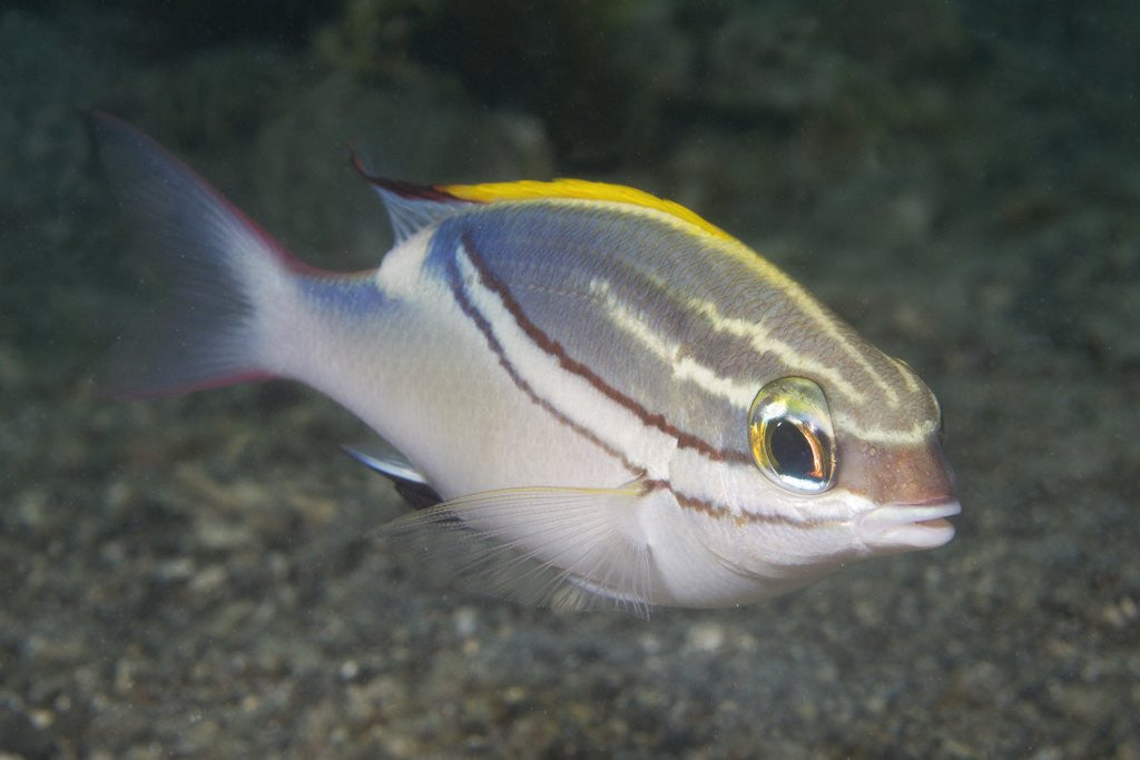 Detail of Bridled Monocale Bream by Corbis