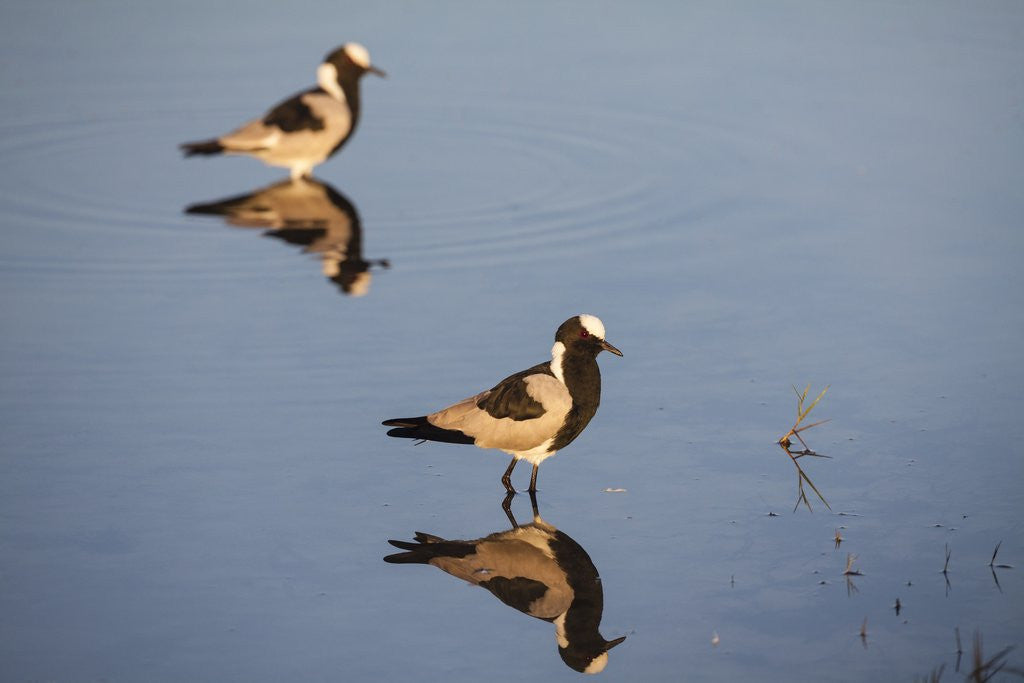 Blacksmith Plover by Corbis