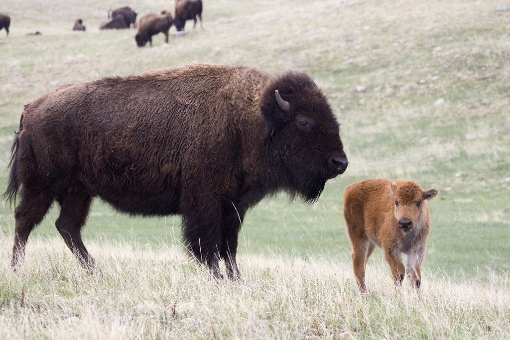 Detail of American Bison cow with calf by Corbis
