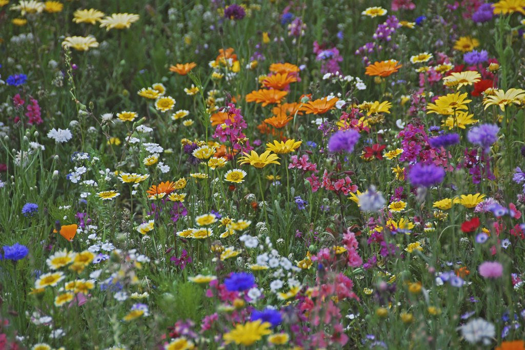 Detail of Colorful wildflower mixture by Corbis
