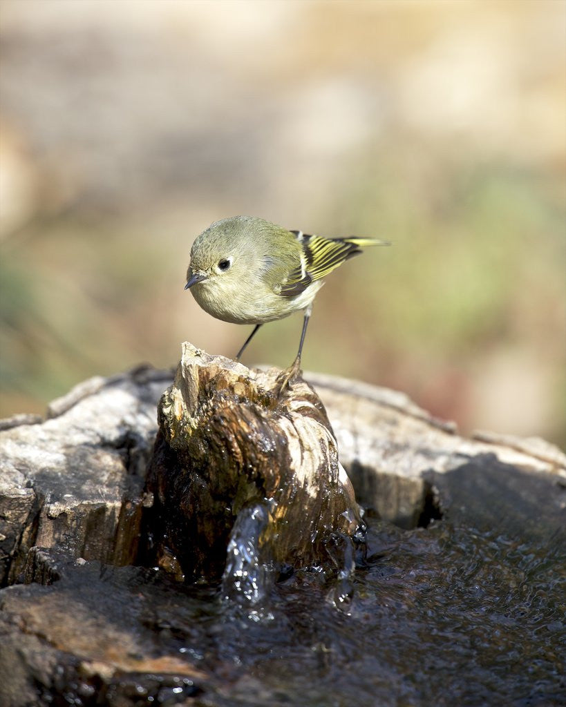 Detail of Ruby-crowned Kinglet by Corbis
