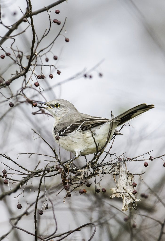 Detail of Northern Mockingbird by Corbis