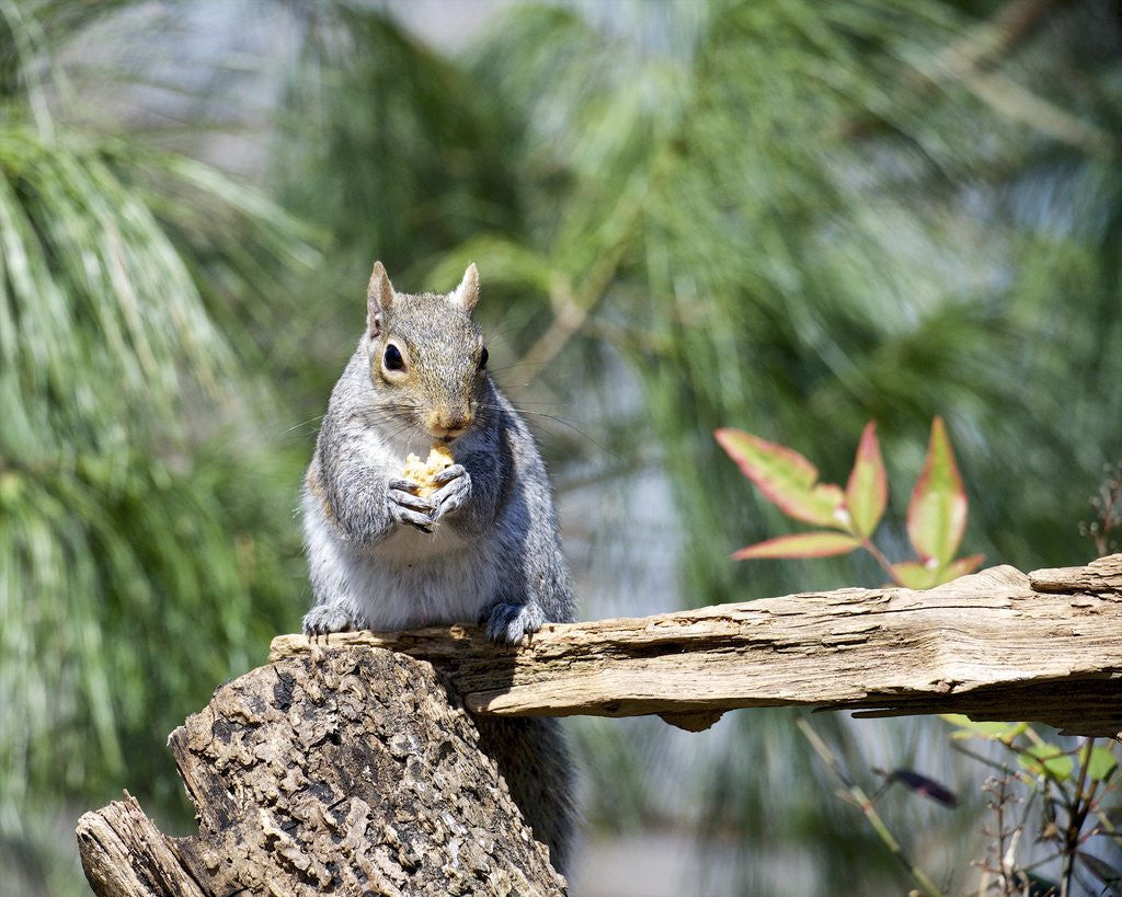 Detail of Gray Squirrel, McLeansville, North Carolina, USA by Corbis