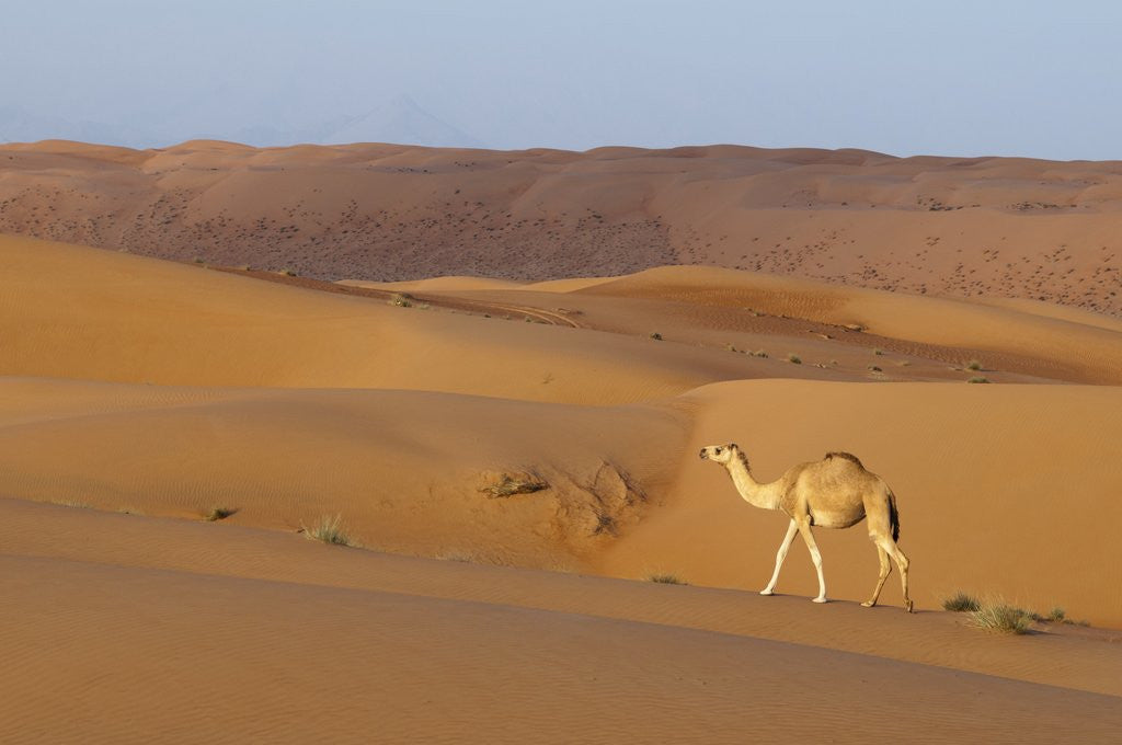 Detail of A wild camel walking on sand dunes. by Corbis