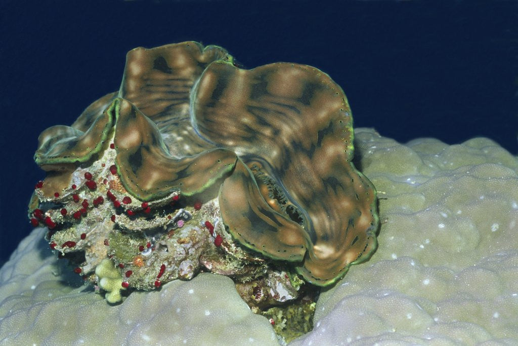 Detail of Fluted Giant Clam by Corbis