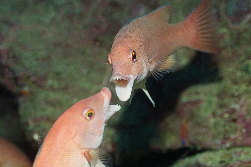 Detail of California Sheephead fighting by Corbis