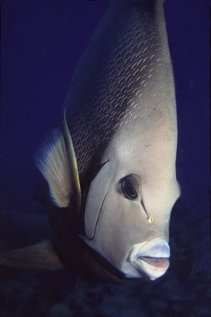Detail of Gray Angelfish closeup by Corbis