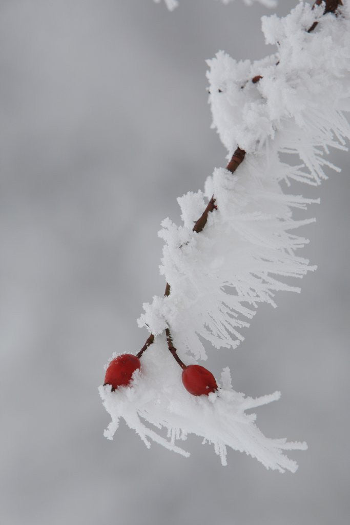 Detail of Frost on a twig of dog rose by Corbis