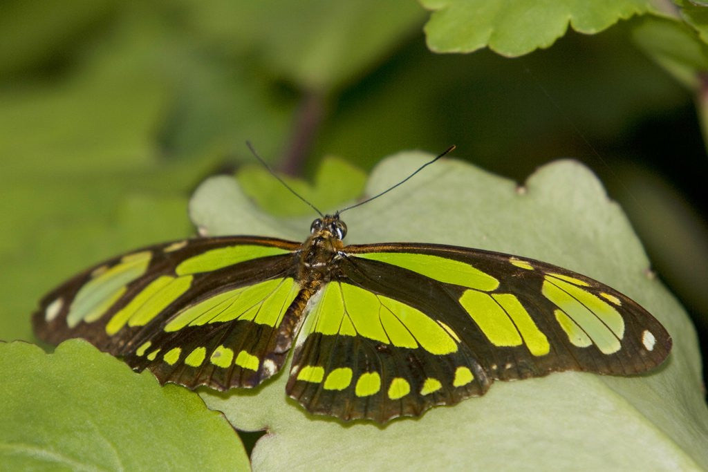 Detail of A tropical butterfly perching on a leaf by Corbis