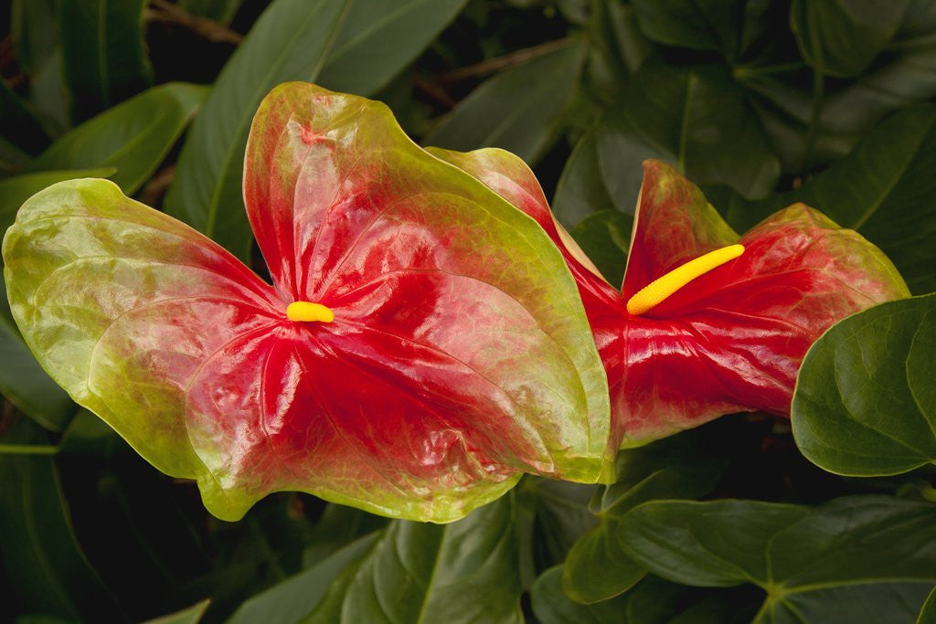 Close up view of 2 red/green anthurium in a garden by Corbis
