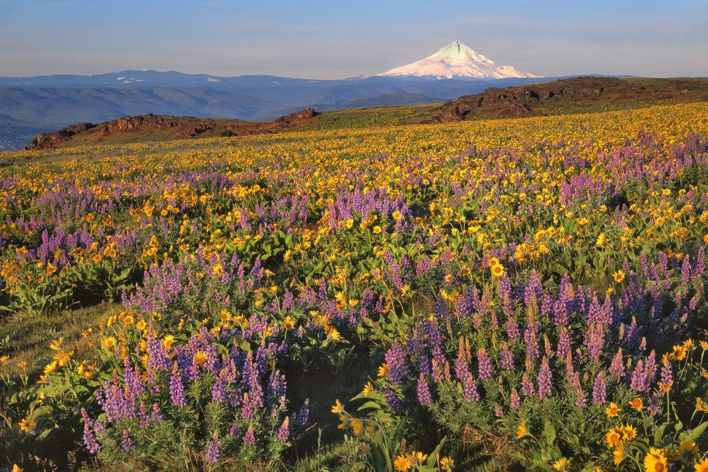 Detail of Lupine & balsamroot with Mt. Hood by Corbis