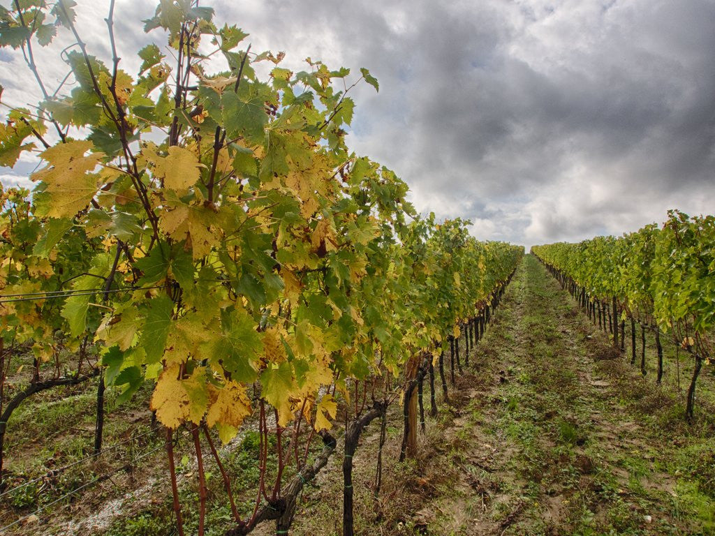 Detail of Autumn Vineyards Rows with Bright Color by Corbis