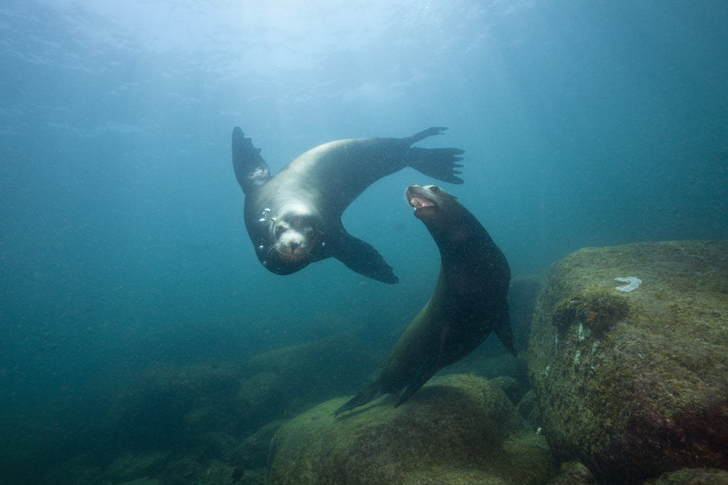 Detail of Californian Sea Lion (Zalophus californianus) by Corbis