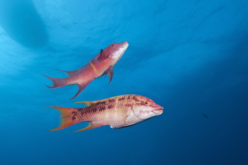 Detail of Mexican Hogfish (Bodianus diplotaenia) by Corbis