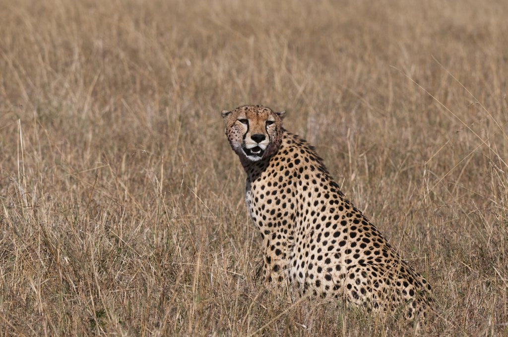 Detail of Cheetah, Masai Mara by Corbis