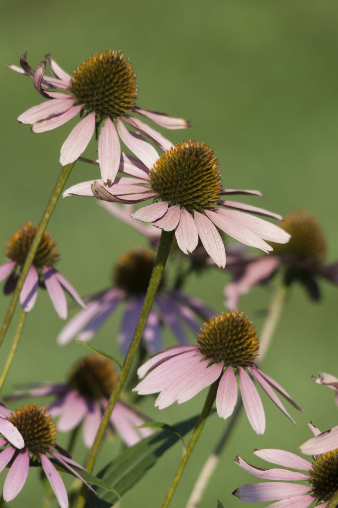 Detail of Echinacea flowers by Corbis