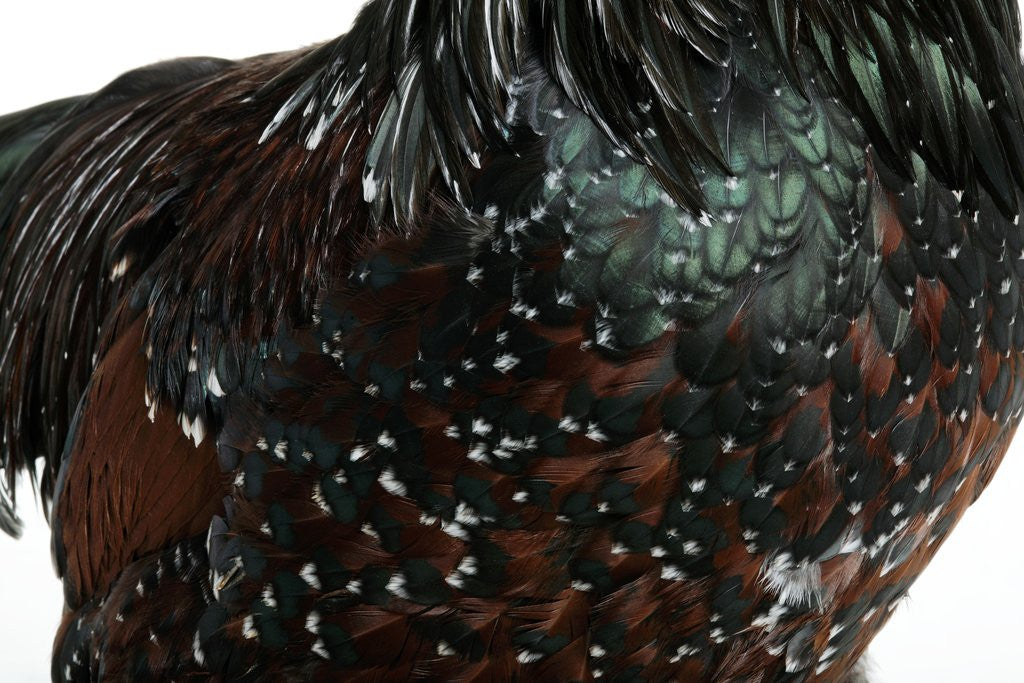 Detail of Speckled Plumage by Corbis