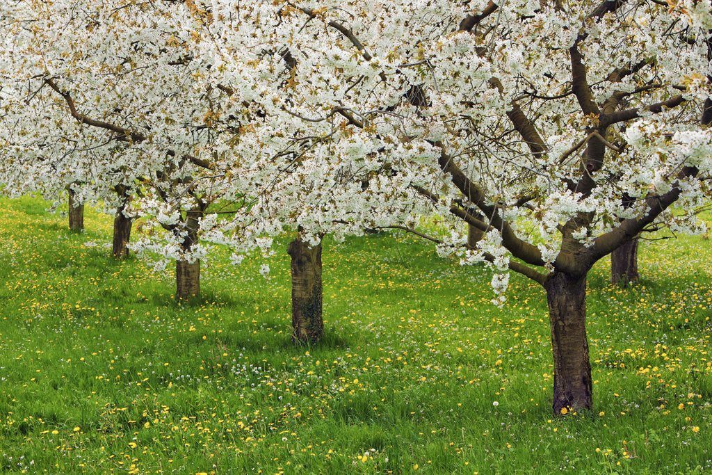 Detail of Cherry plantation in bloom by Corbis