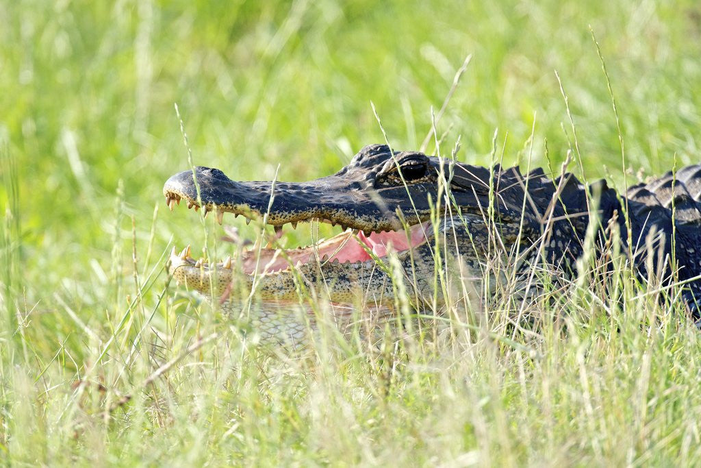 Detail of American Alligator by Corbis