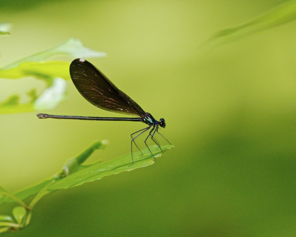 Detail of Damsel Fly by Corbis