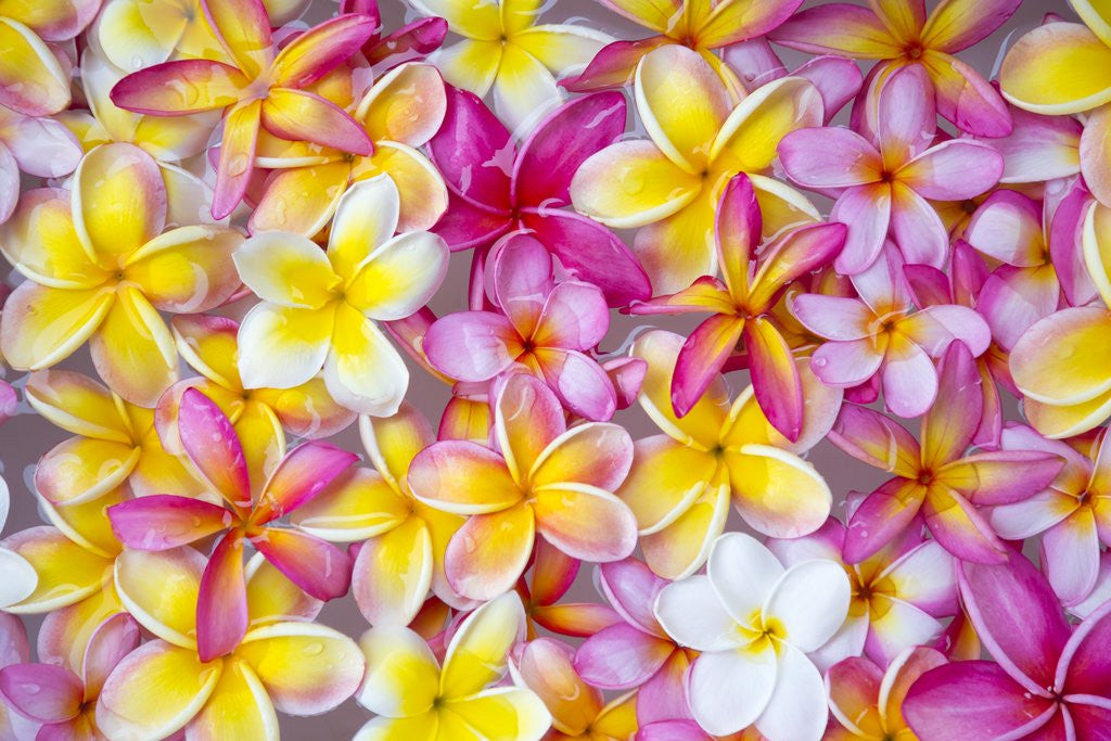 Detail of Colorful Plumeria blossoms, Maui, Hawaii by Corbis