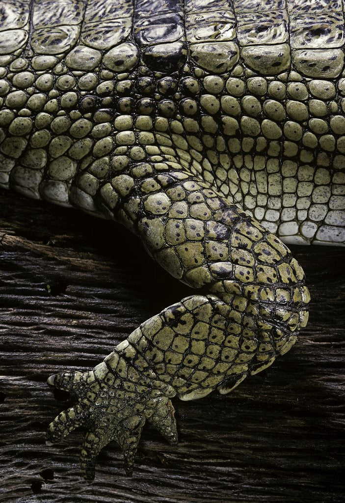 Detail of (Gavialis gangeticus (gharial)) - foreleg by Corbis