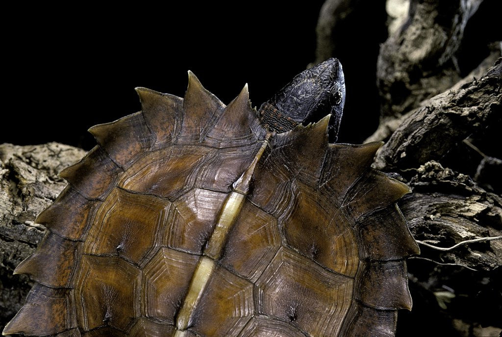 Detail of Heosemys spinosa (spiny turtle) by Corbis