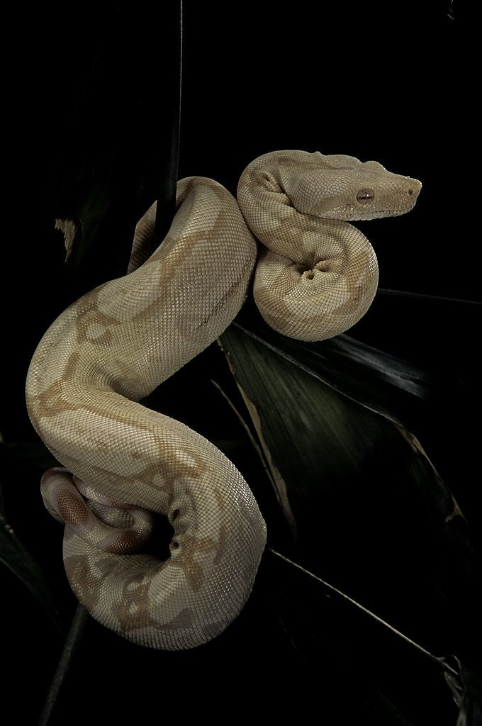 Detail of Boa constrictor f. albino by Corbis