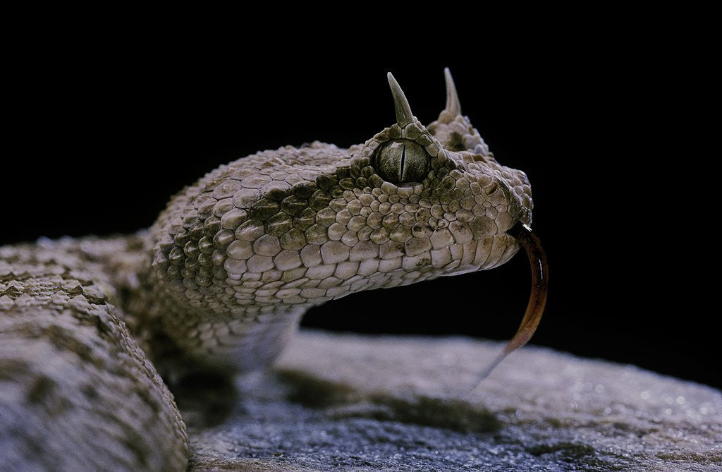 Detail of Cerastes cerastes (horned viper) by Corbis