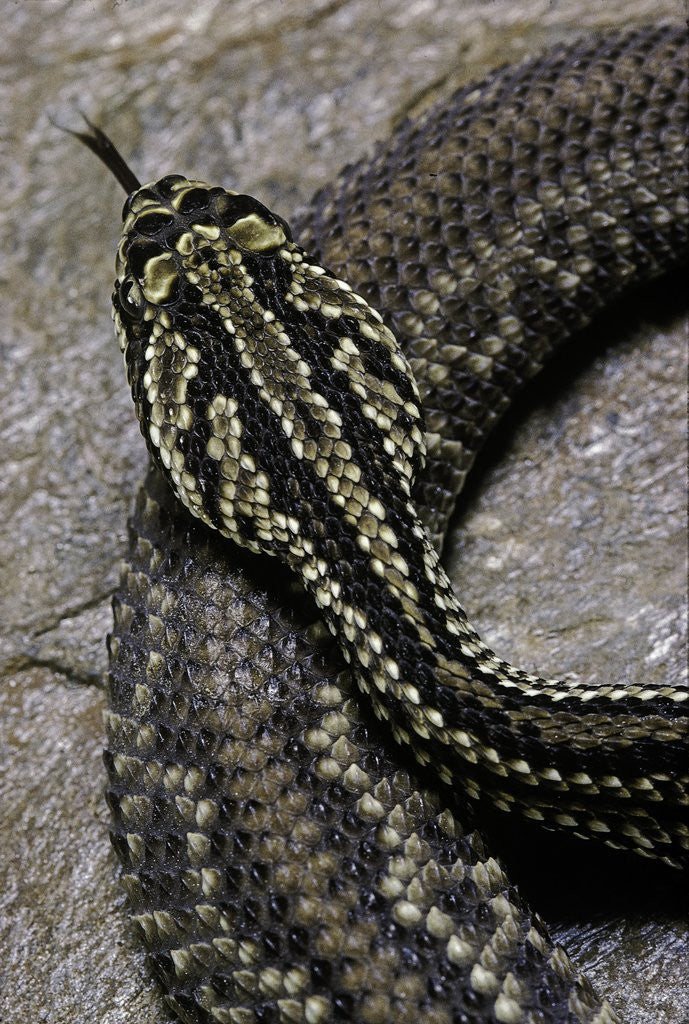 Detail of Crotalus durissus terrificus (cascabel or South american rattlesnake) by Corbis