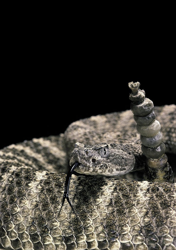 Detail of Crotalus tigris (tiger rattlesnake) by Corbis