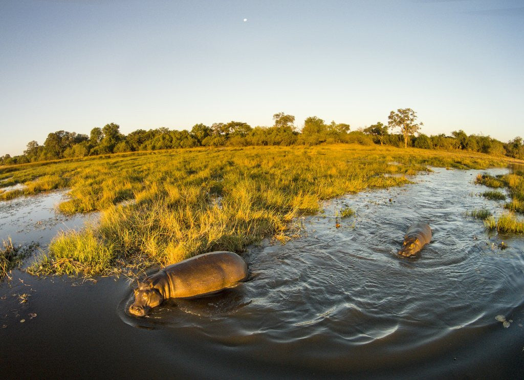 Detail of Aerial View of Hippopotamus at Sunset, Moremi Game Reserve, Botswana by Corbis