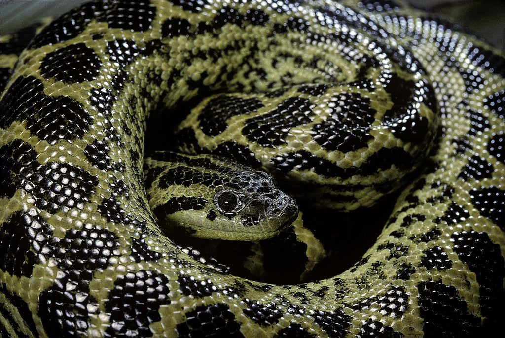 Detail of Eunectes notaeus (yellow anaconda) by Corbis