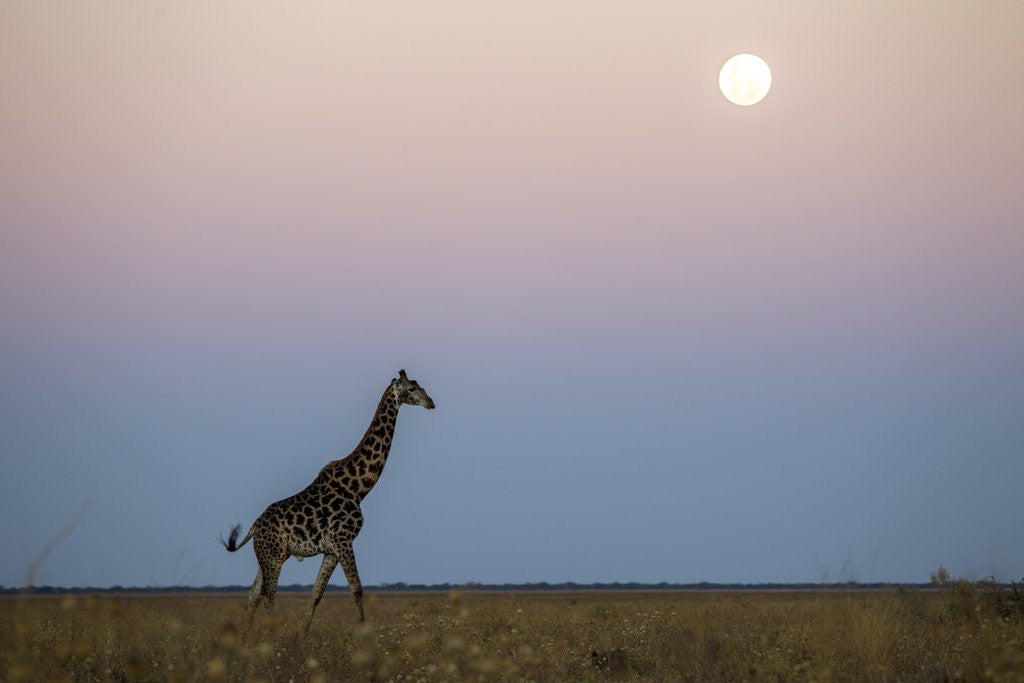 Detail of Giraffe and Moonrise, Chobe National Park, Botswana by Corbis