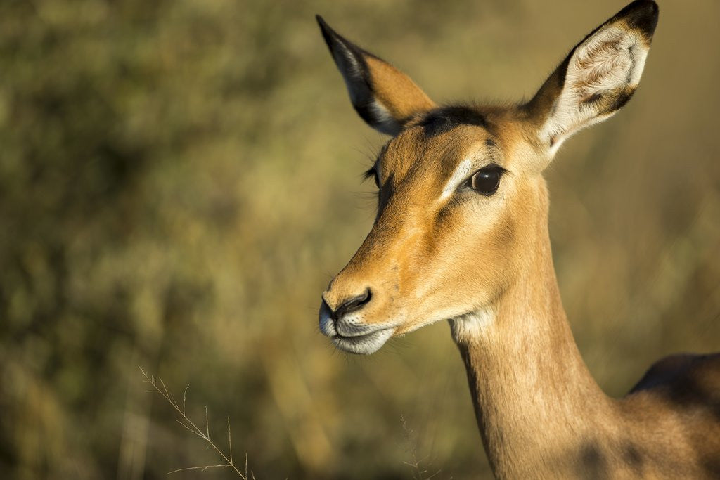Detail of Impala, Moremi Game Reserve, Botswana by Corbis