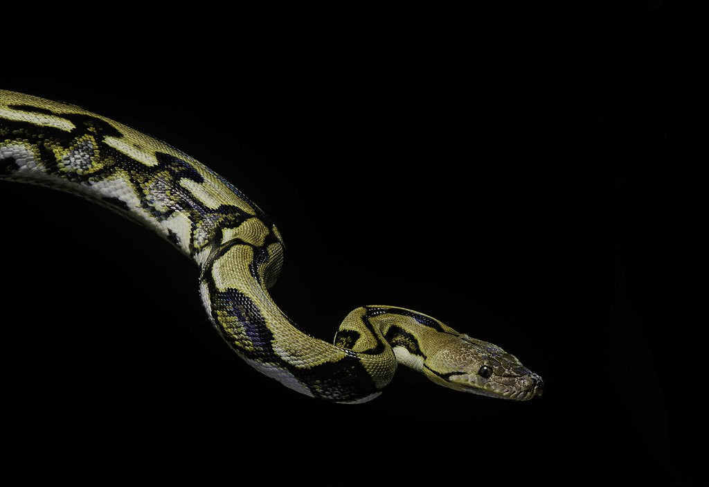 Detail of Python reticulatus f.tiger (reticulated python) by Corbis