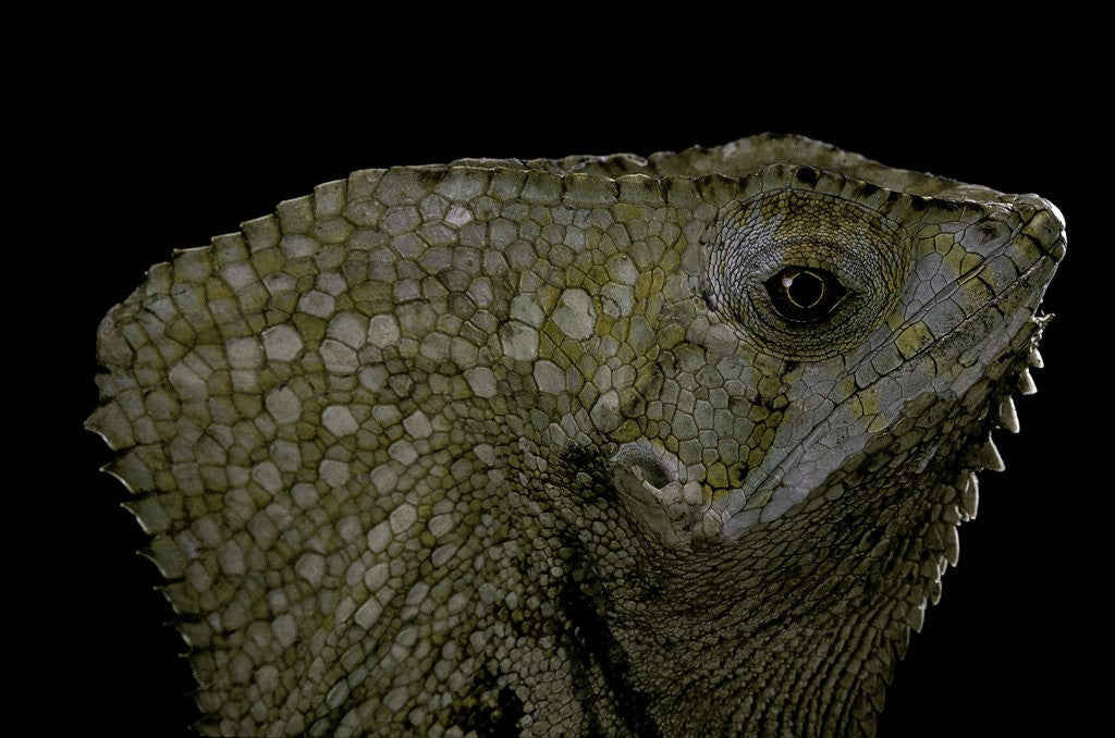 Detail of Corytophanes cristatus (helmeted iguana) by Corbis