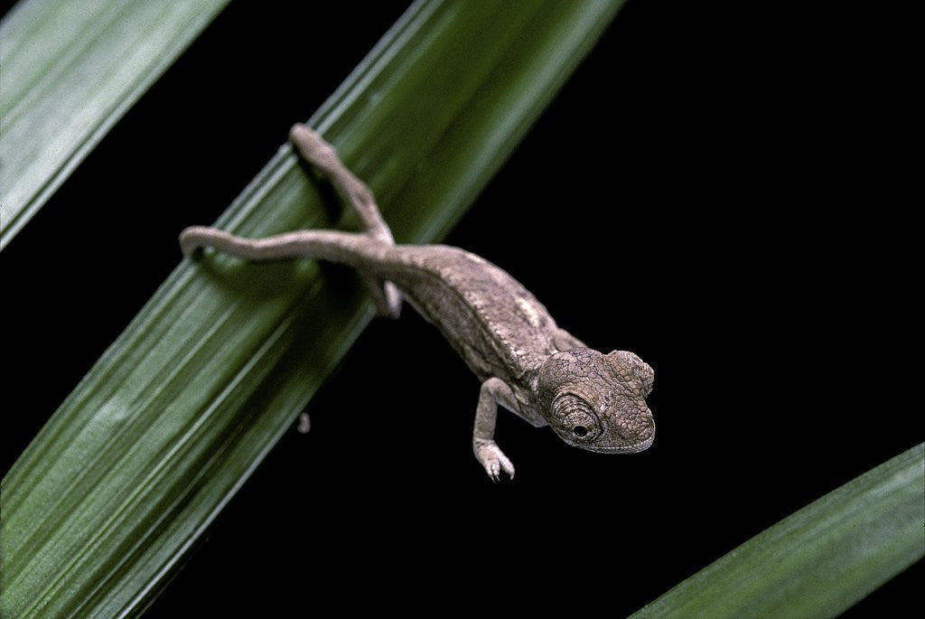 Detail of Furcifer oustaleti (Malagasy giant chameleon) - young by Corbis