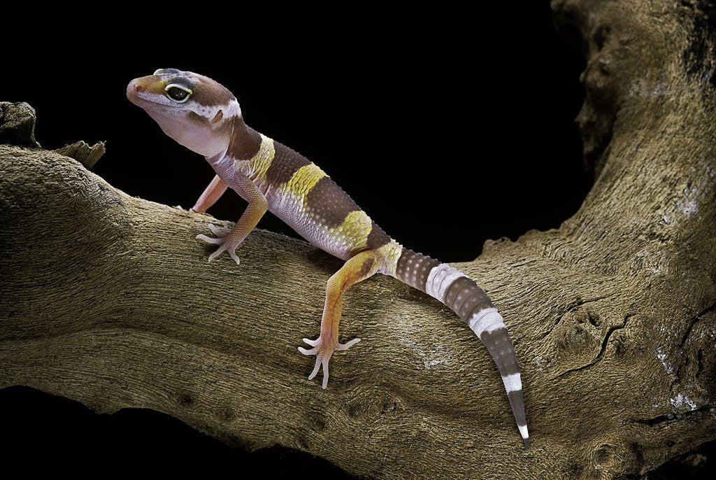 Detail of Eublepharis macularius f. albino (leopard gecko) by Corbis