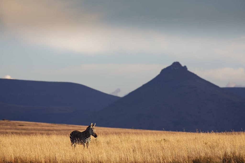 Detail of Mountain Zebra in field by Corbis