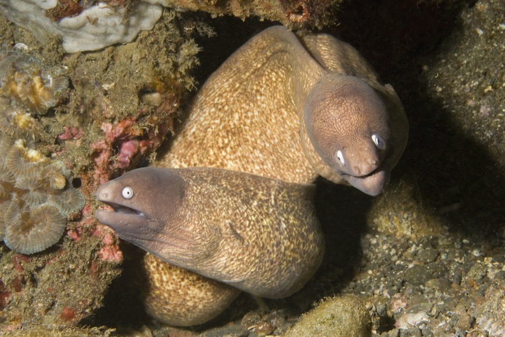 Detail of White-Eyed Moray Eels by Corbis