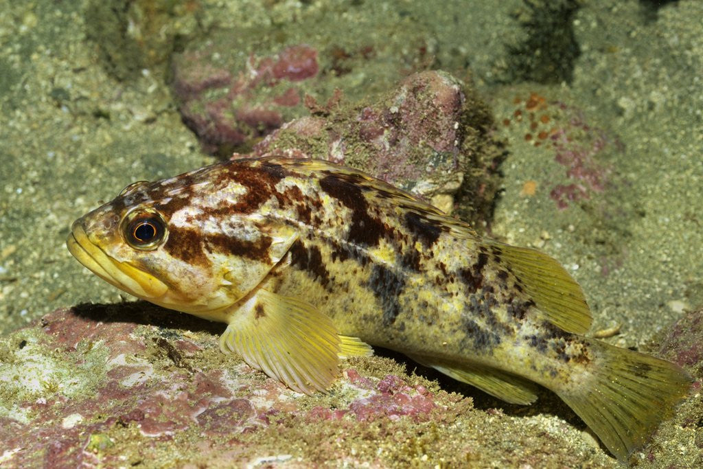 Detail of Calico Rockfish by Corbis