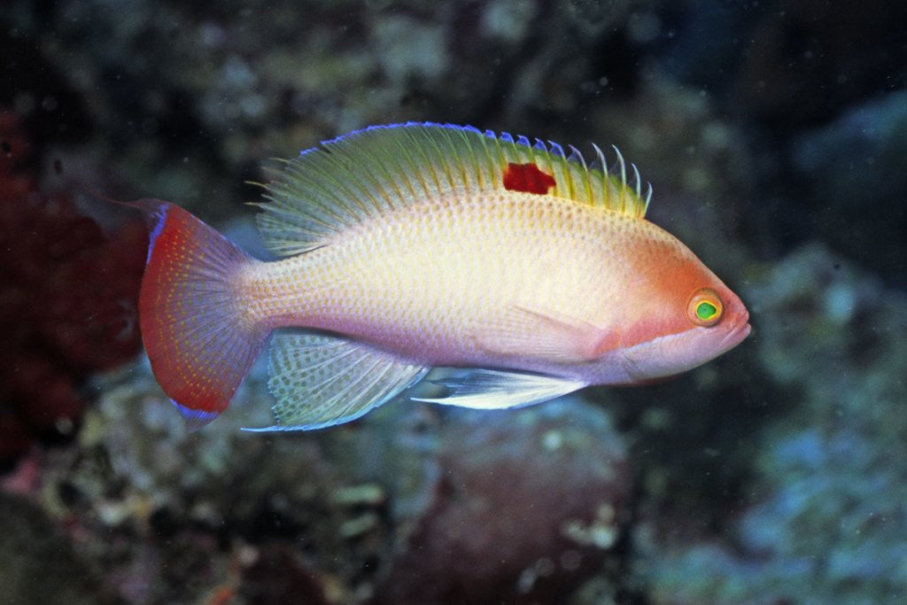 Detail of Stocky Anthias by Corbis