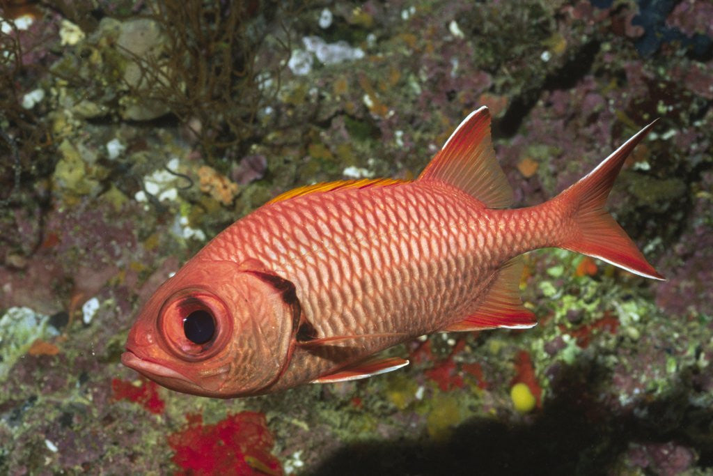 Detail of Epaulette Soldierfish by Corbis