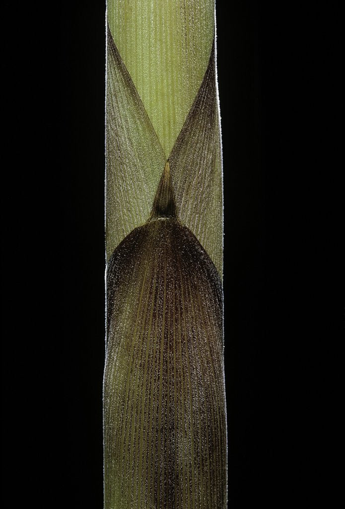 Detail of Chusquea breviglumis (bamboo) - shoot by Corbis