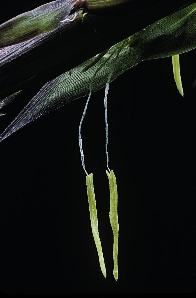 Detail of Bamboo flower by Corbis